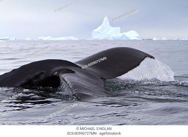 Humpback whale Megaptera novaeangliae flukes-up dive near the Antarctic Peninsula, Antarctica, Southern Ocean MORE INFO Humpbacks feed only in summer