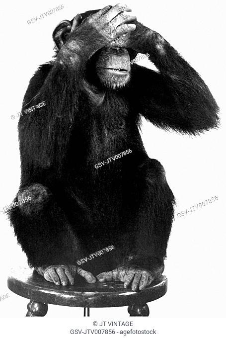 Chimpanzee, See No Evil, circa 1970's