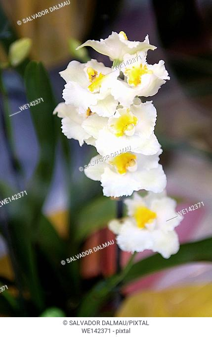 creative image,white orchid flower close up shot,location girona,catalonia,spain,europe,