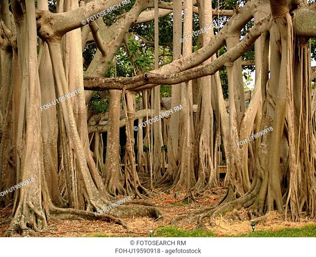 Fort Myers, FL, Florida, Edison and Ford Winter Estates, Banyan Tree, origin India, (largest in the United States)