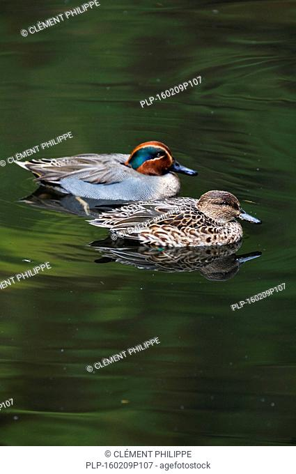 Common Teal / Eurasian Teal (Anas crecca) male and female couple swimming in lake