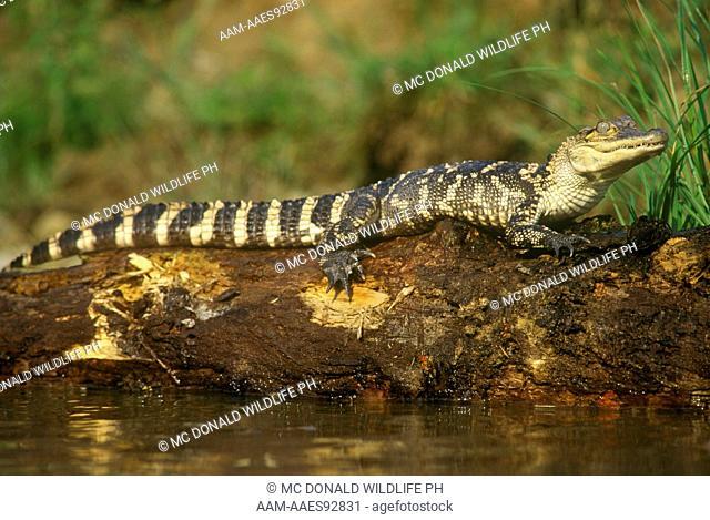 American Alligator (Alligator mississippiensis) Everglades NP/FL
