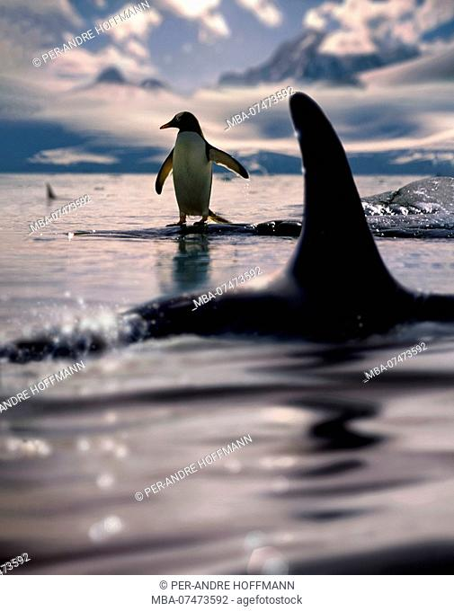 Gentoo penguin and killer whales