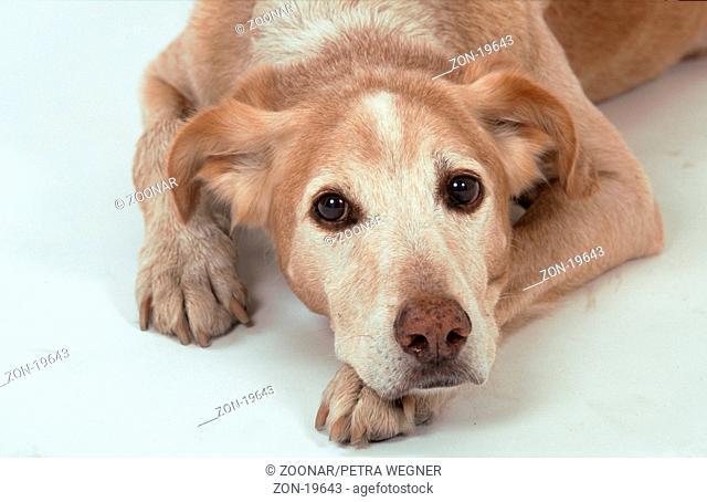 Mixed Breed Dog  /  Mischlingshund  /  [Saeugetiere, mammals, animals, Haushund, domestic dog, Haustier, Heimtier, pet, innen, Studio, indoor, Kopf, head