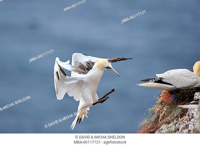 Gannets, Morus bassanus, at the side, fly, Heligoland