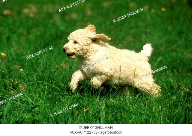 Labradoodle Puppy running in high grass