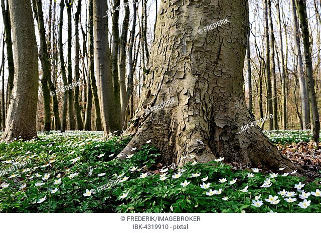 Sycamore maple (Acer pseudoplatanus), beeches (Fagus sylvatica), deciduous forest in spring with wood anemone (Anemone nemorosa), North Rhine-Westphalia