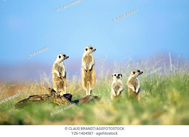 Meerkats (Suricata suricatta) observing the area standing on the granite rocks of their den near Gaub canyon, Namibia