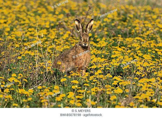 European hare (Lepus europaeus), single animal on a meadow, Austria, Neusiedler See National Park