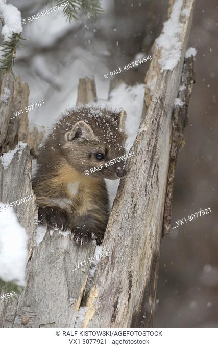 American Pine Marten ( Martes americana ) in winter, sitting in a tree stump during snowfall, looks cute, Montana, USA
