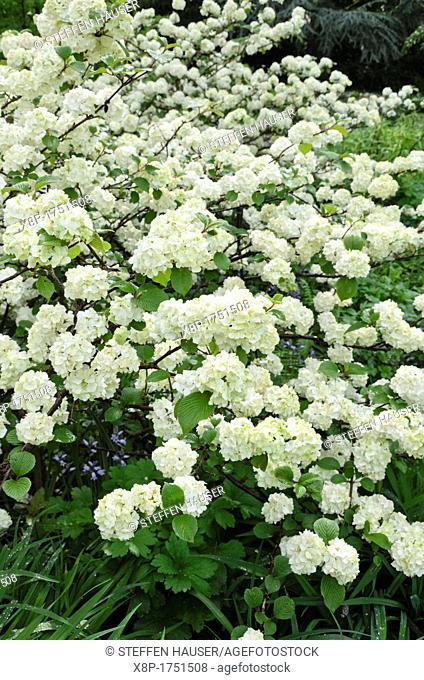 Lace cup viburnum Viburnum plicatum 'Rotundifolium'