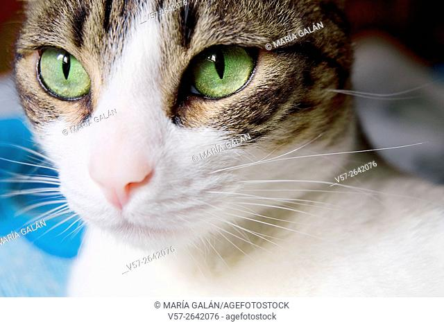 Tabby and white cat's face. Close view