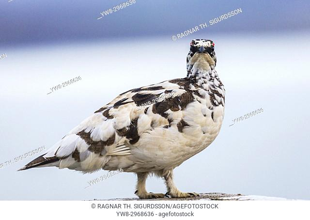 Portrait of a Male Ptarmigan, Iceland