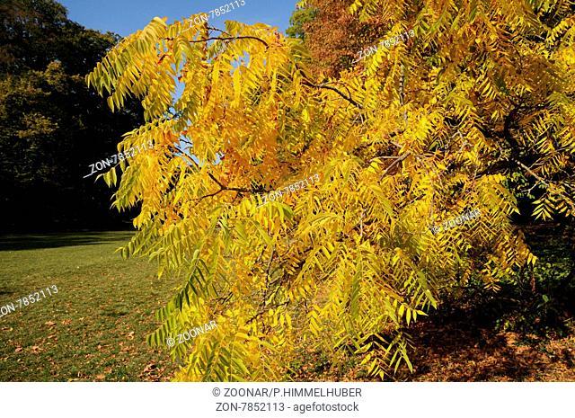 Juglans nigra, Schwarznuss, Black walnut, Herbstfärbung