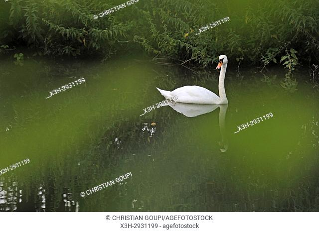 swan on Eure River, Eure-et-Loir department, Centre-Val de Loire region, France, Europe