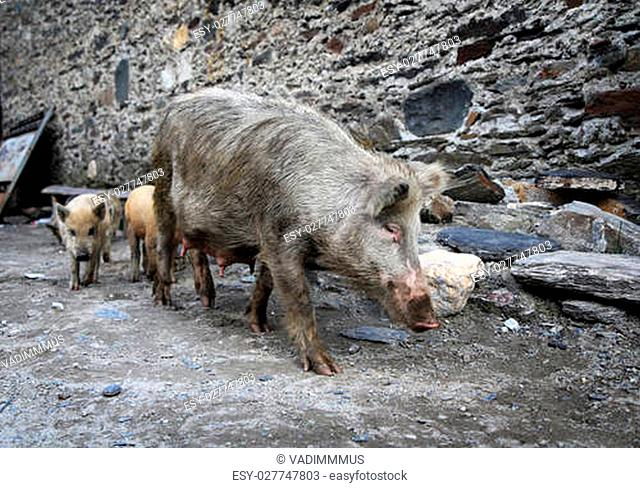 Pig with piglets on stone wall background