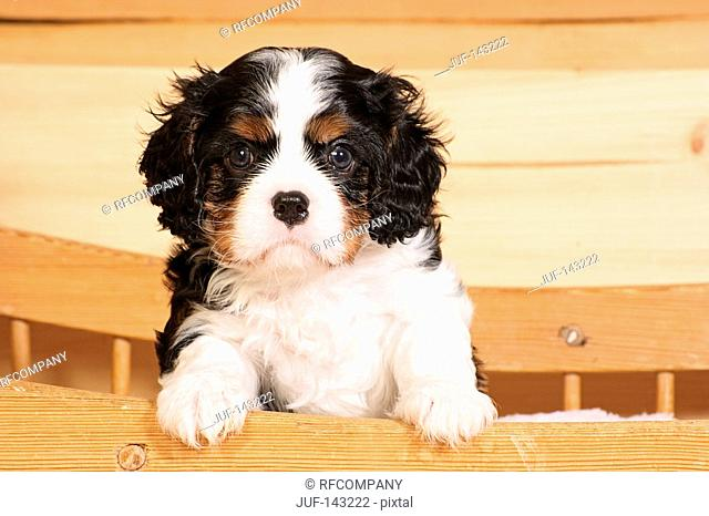 young Cavalier King Charles Spaniel - paws on wooden board