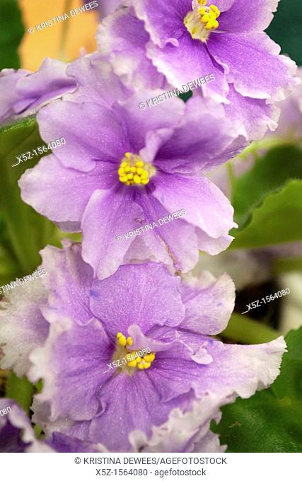 A doubled African Violet