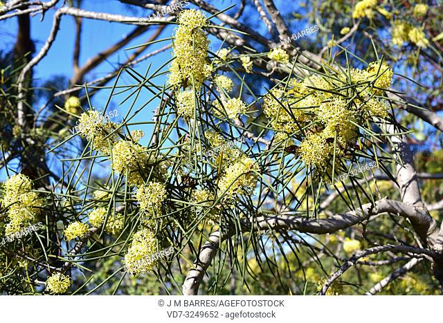 Jarnockmert (Hakea recurva) is a big shrub or small tree native to western Australia. Flowering plant