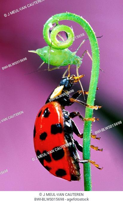 multicoloured Asian beetle Harmonia axyridis, with aphid