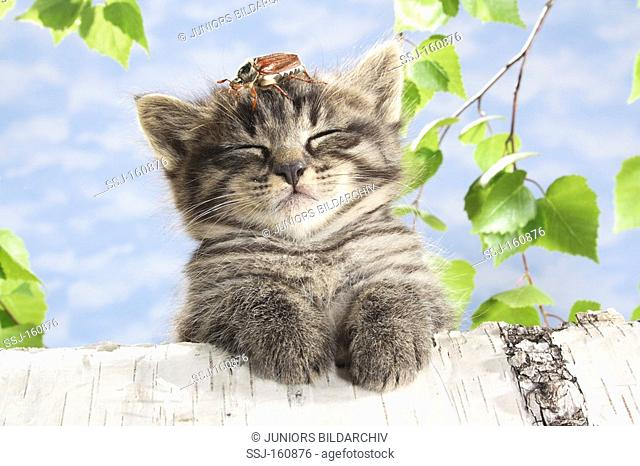 tabby kitten with a common cockchafer on its head