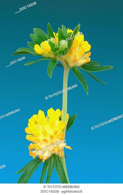 Kidney vetch - medicinal plant - Anthyllis vulneraris - Vulneraria Wundklee -