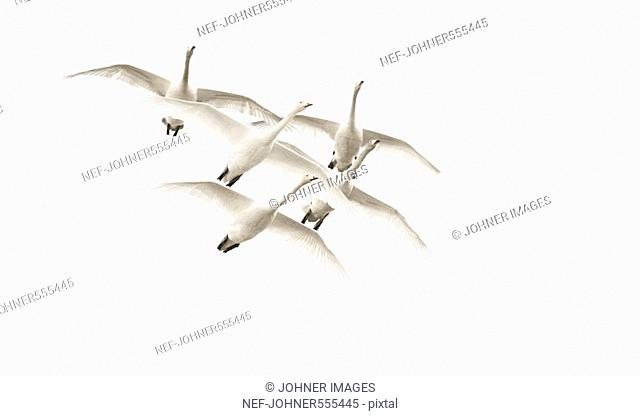 Flying birds in the sky, Sweden