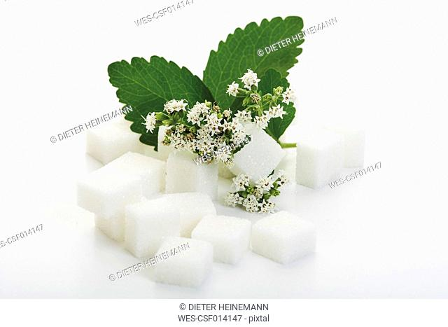 Sugar lumps and stevia leaves with blossom on white background