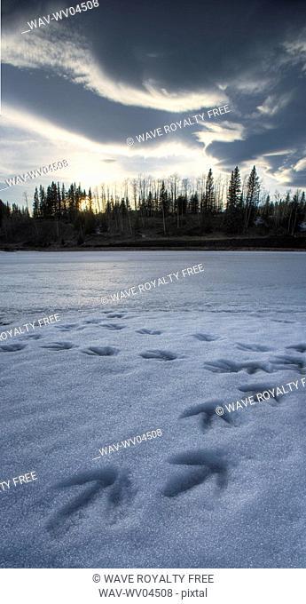 Goose tracks on pond, Kananaskis Country - Alberta - Canada