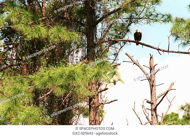 03/28/2000 -- High in a pine tree on the grounds of the Kennedy Space Center, a bald eagle perches on a branch. The Southern Bald Eagle ranges throughout...