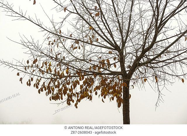 Elm, Almansa, Albacete province. Spain