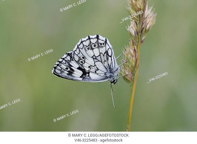 Marbled White, Melanargaria galanthea. Large white butterfly with black marbling. Wingspan: 46-56. Host plants: Brachypodium pinnatum, Bromus erectus