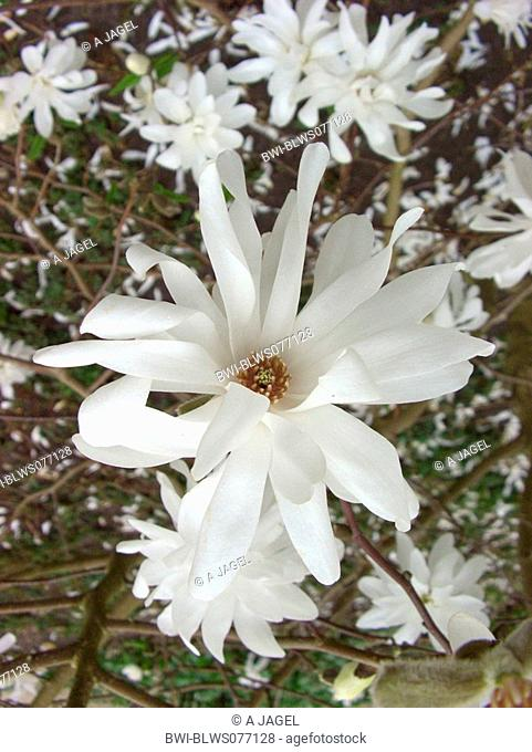 star magnolia Magnolia 'Spring Joy', Magnolia Spring Joy, Magnolia x loebneri 'Spring Joy', Magnolia x loebneri Spring Joy'