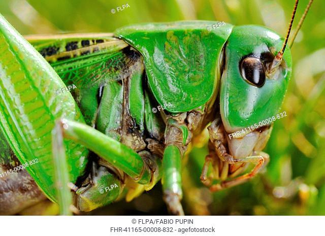 Wart-biter Cricket Decticus verrucivorus adult, close-up of head and thorax, Italy