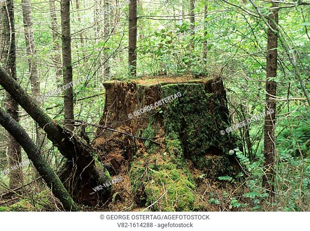 Stump on Old Growth Ridge Trail, Eugene District Bureau of Land Management, OR