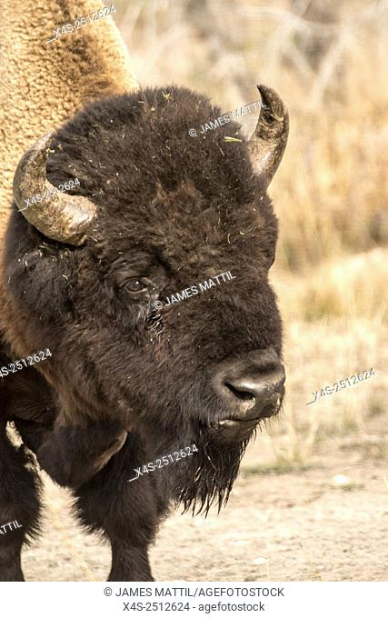 Close up portrait of a bull bison in Yellowstone Park