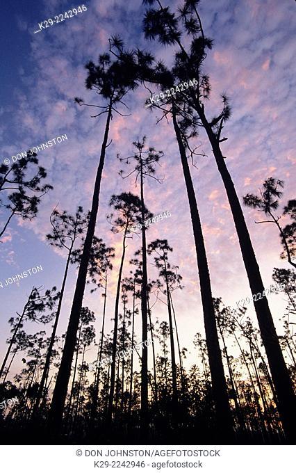 Pine trees and pre-dawn sky, Everglades National Park, Florida, USA