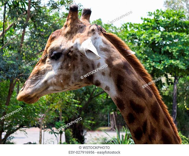 Photo of giraffe eating vegetables