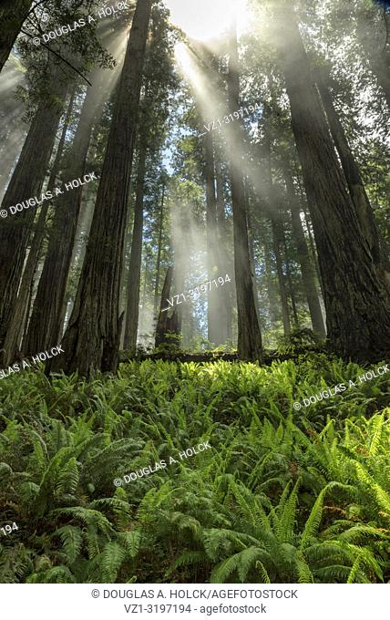 Breaking through the Clouds in Prarie Creek Redwoods State Park CA