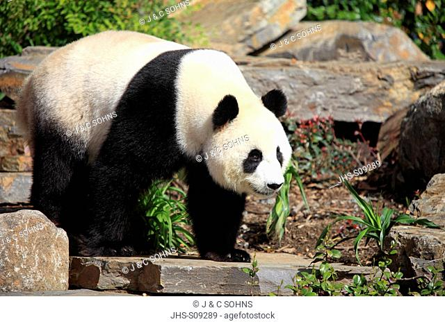 Giant Panda,Ailuropoda melanoleuca,Adelaide Zoo,South Austalia,Australia,adult