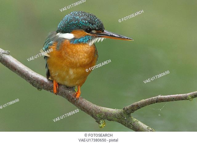 eisvogel, animal, bird, attis, atthis, huwiler, alcedo