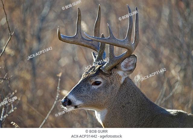Male White-tailed Deer Odocoileus virginianus, Southwest Alberta, Canada