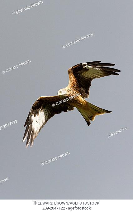 Red Kite (Milvus milvus) flying, Wales, UK
