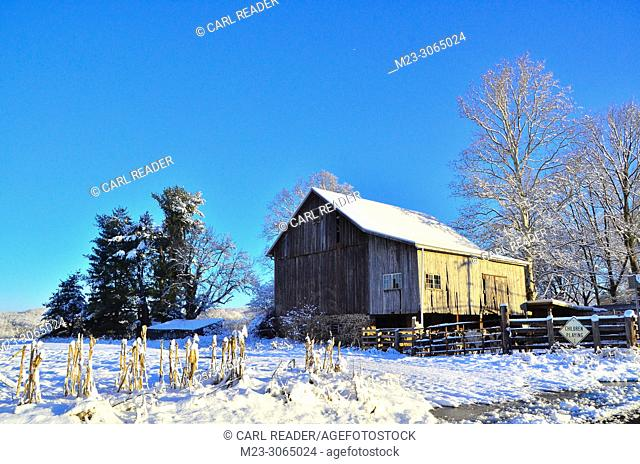 An old barn with cows in snow, Pennsylvania, USA