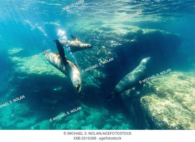 Adult California sea lions, Zalophus californianus, underwater at Los Islotes, Baja California Sur, Mexico