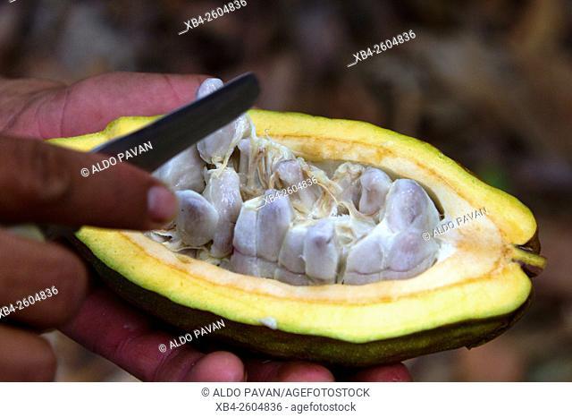 Peru, Piura, Palo Blanco, cocoa pod