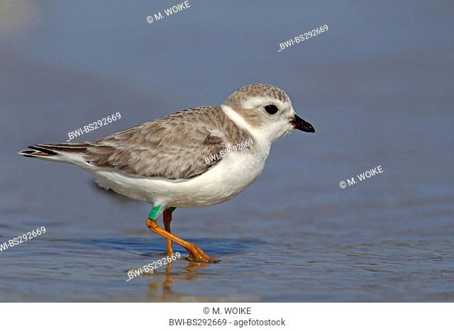 piping plover (Charadrius melodus), in wadden sea, USA, Florida