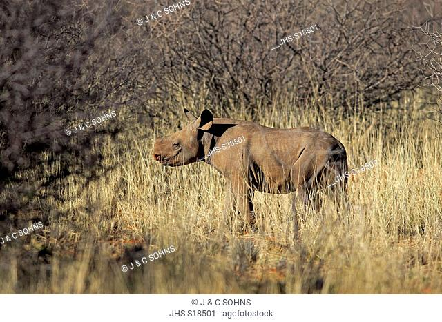 Black Rhinoceros, hook-lipped rhinoceros, (Diceros bicornis), young, calf, Tswalu Game Reserve, Kalahari, Northern Cape, South Africa, Africa