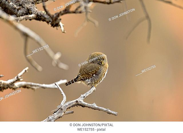 Northern pygmy owl (Glaucidium gnoma), perched in a tree, hunting, Grand Canyon National Park, Arizona, USA