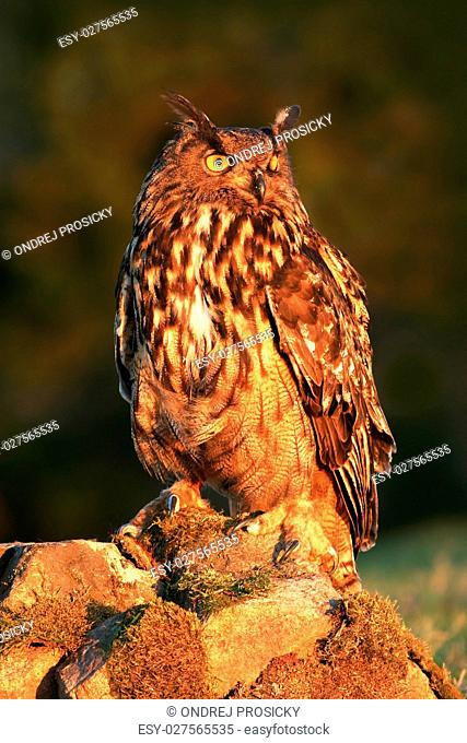 Eurasian Eagle Owl, bird sitting on the stone in the meadow with
